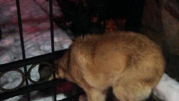 Başı demir kapıdaki halkaya sıkışan köpeği itfaiye ekibi kurtardı