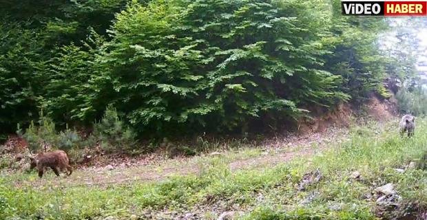 Mengen'de ormana kurulan fotokapana ayı, geyik, ceylan, tilki ve domuzlar ile yavruları yansıdı.